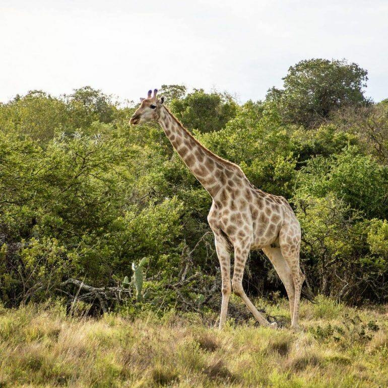Giraffe im Schotia Private Game Reserve