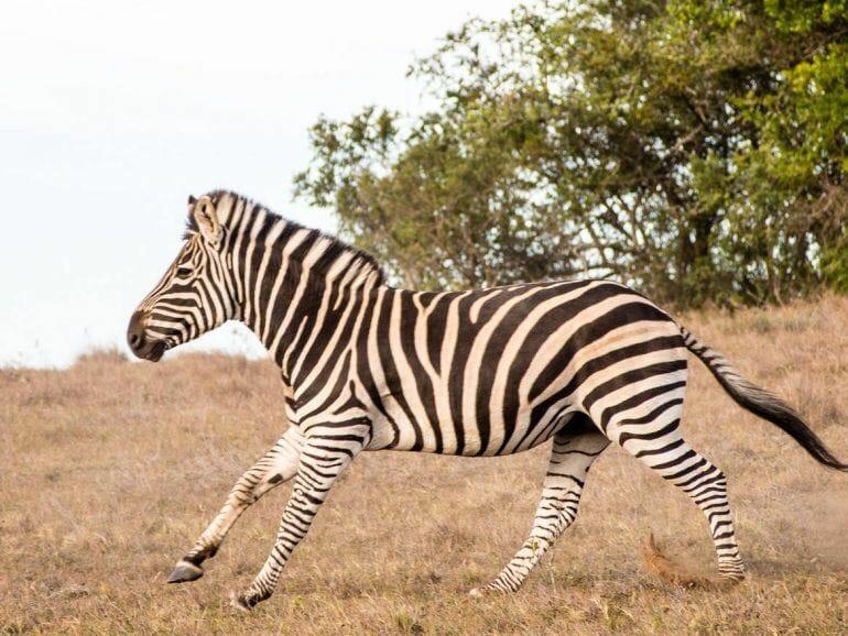 Laufendes Zebra im Schotia Private Game Reserve