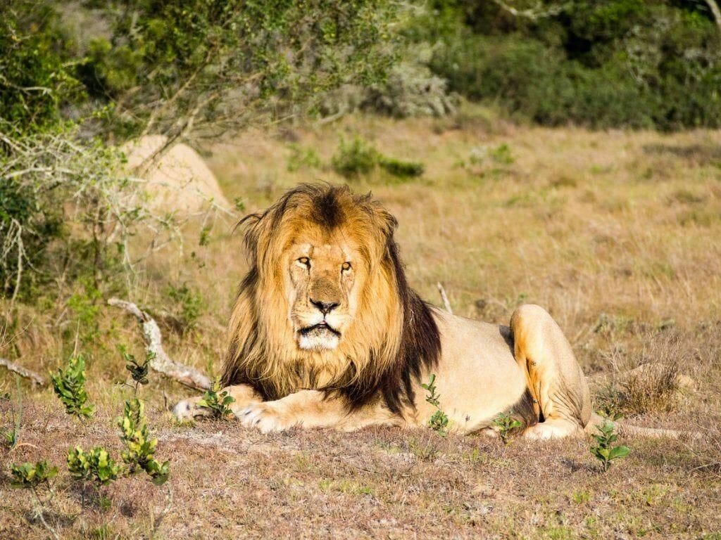 Löwe im Schotia Private Game Reserve