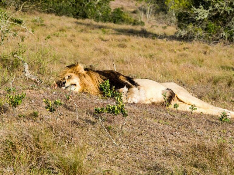 Schlafender Löwe im Schotia Private Game Reserve