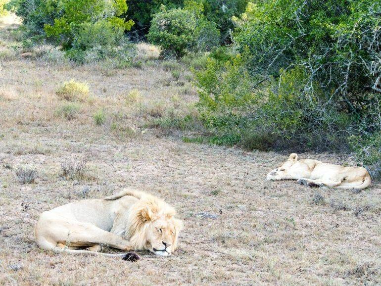 Löwen im Schotia Private Game Reserve