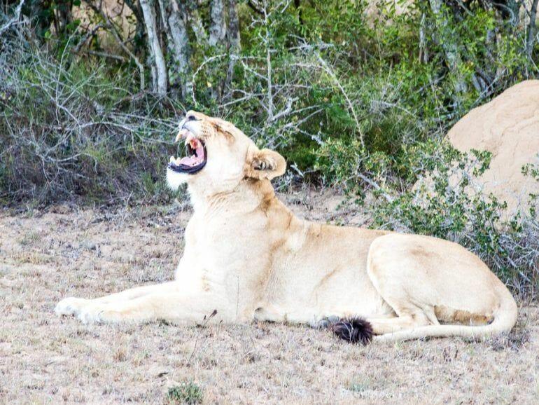 Löwin im Schotia Private Game Reserve