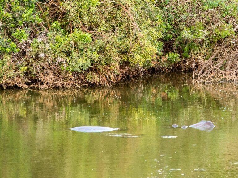 Nilpferd im Schotia Private Game Reserve
