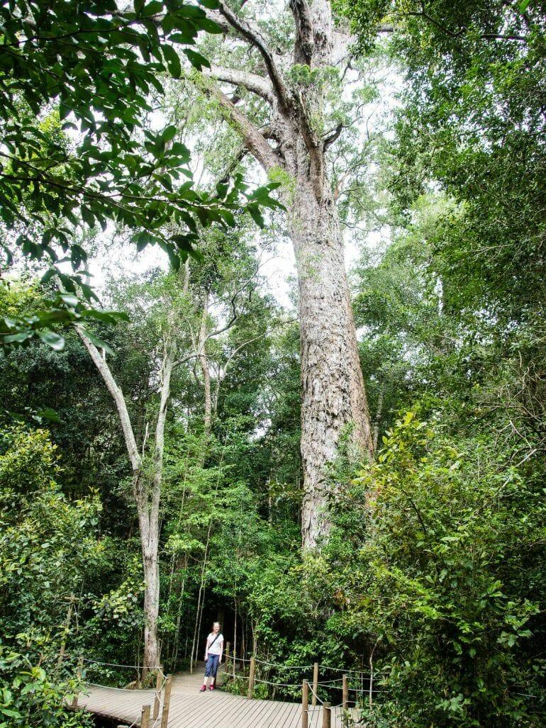 The Big Tree im Tsitsikamma Nationalpark