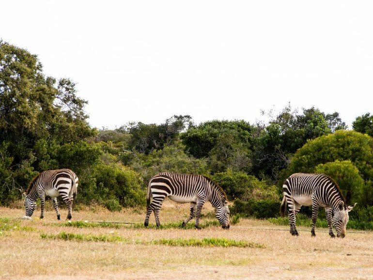 Zebras im De Hoop Nature Reserve
