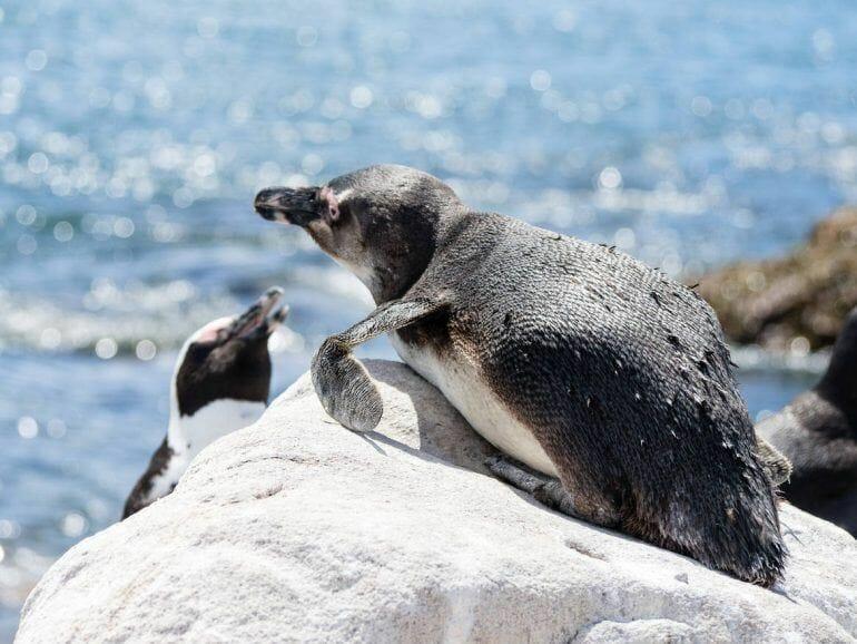 Pinguine Betty's Bay