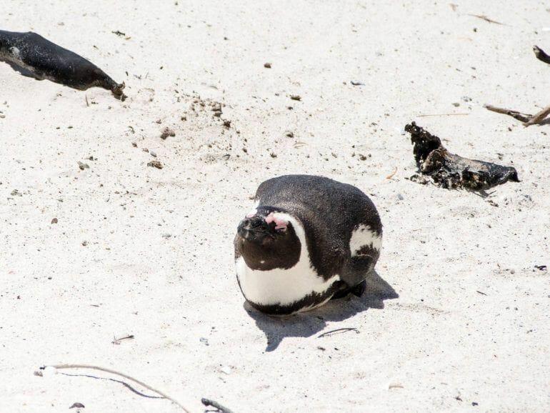 Einzelner Pinguin in Simon's Town auf der Kap-Halbinsel
