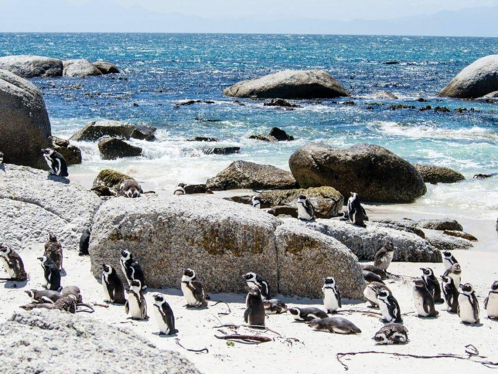 Pinguine in Simon's Town auf der Kap-Halbinsel
