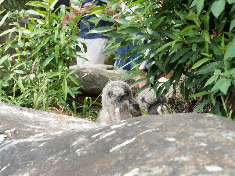 Eulen Küken im Kirstenbosch