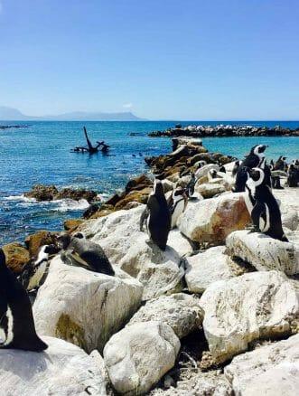 Pinguine bei Betty's Bay