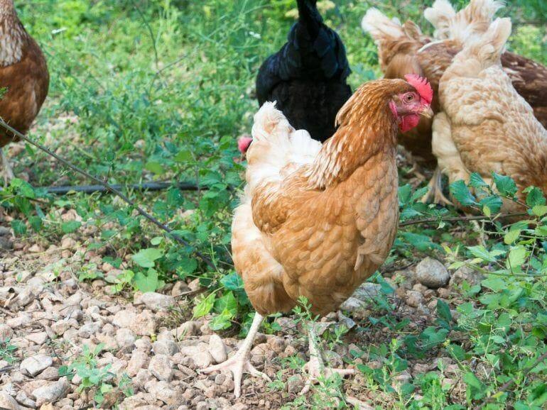 Hühner auf der Ecovinyassa in Soller auf Mallorca