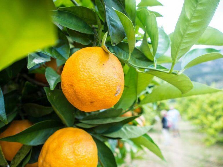 Orangenbaum auf der Ecovinyassa in Soller auf Mallorca