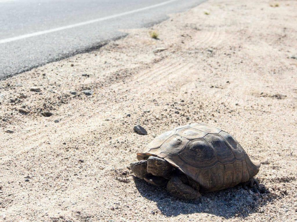 Schildkröte im Joshua Tree Nationalpark