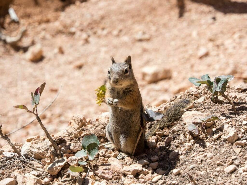 Streifenhörnchen im Bryce Canyon