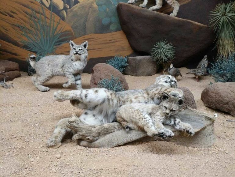 Exponate im Wildlife Museum Nähe Bryce Canyon