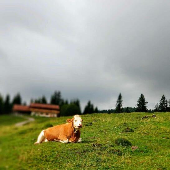 Kuh auf der Winklmoosalm in Reit im Winkl
