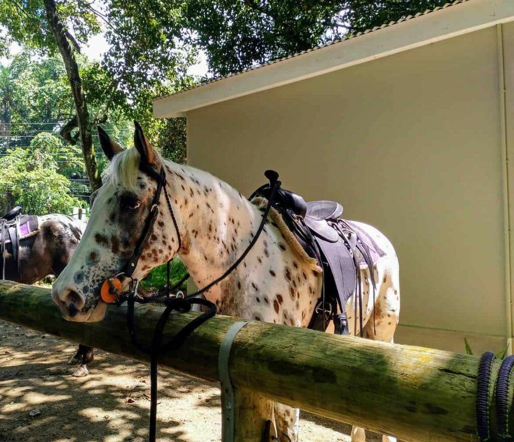 Appaloosa Stute bei Turquoise Horse Trails auf Mahe Seychellen