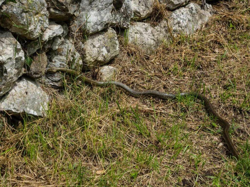 Schlange auf dem Wanderweg in Italien