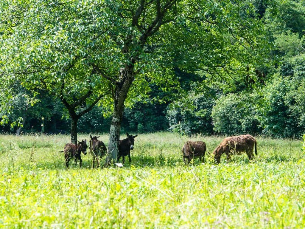 Gruppe von Eseln am Lago di Como Italien
