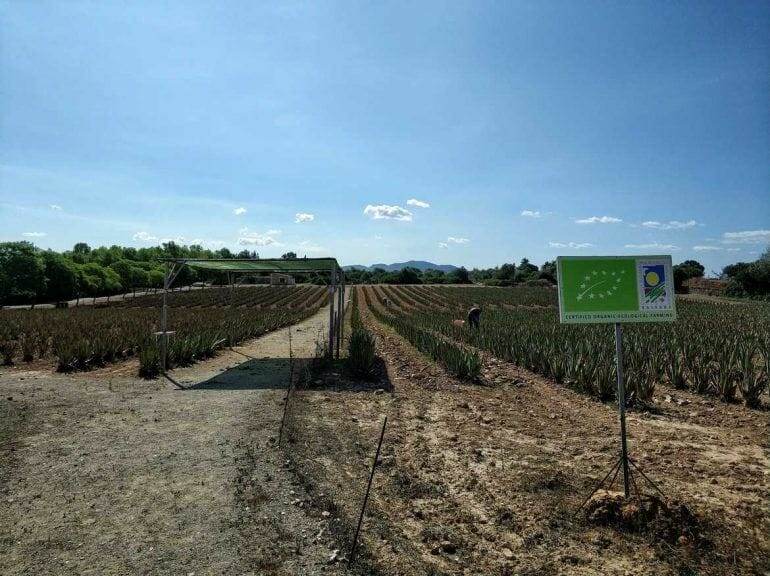Aloe Vera Farm auf Mallorca