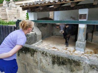 Kuh im Els Calderers auf Mallorca
