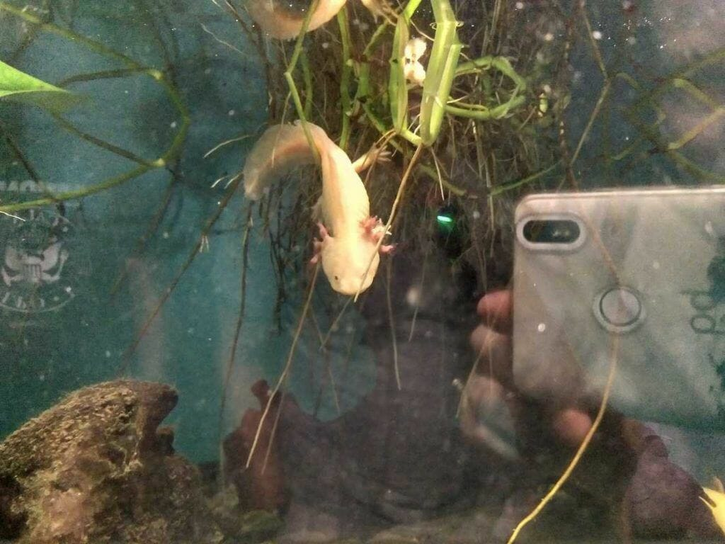Axolotl im Palma Aquarium auf Mallorca