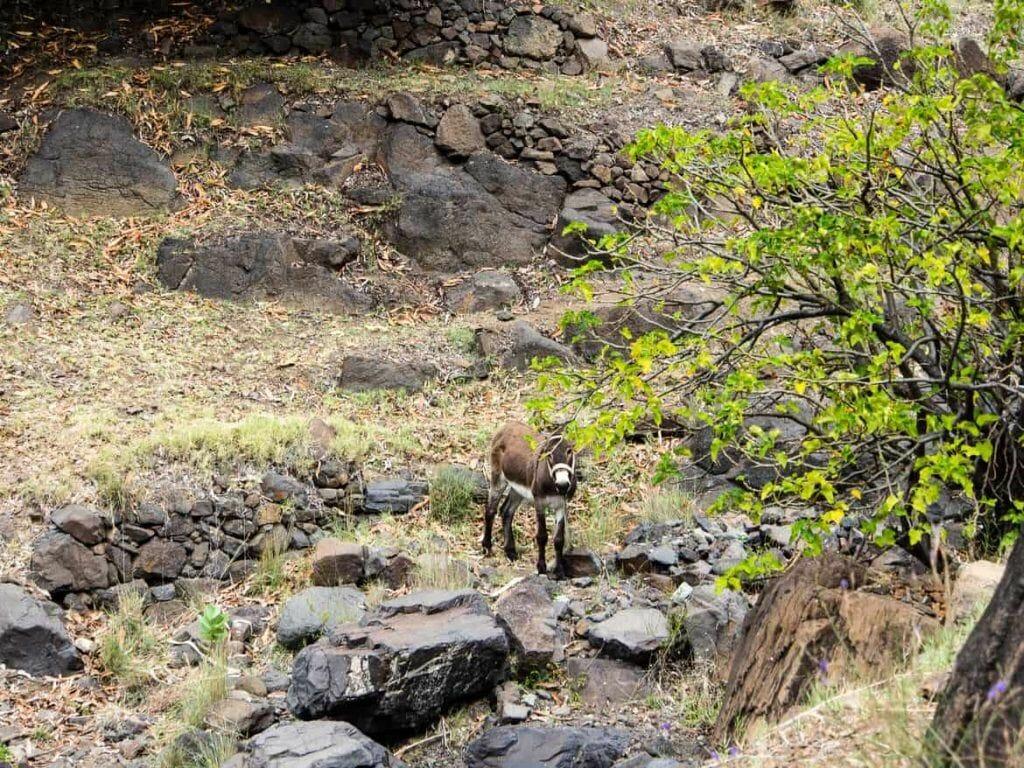 Esel im Tal auf Santo Antao Kapverden