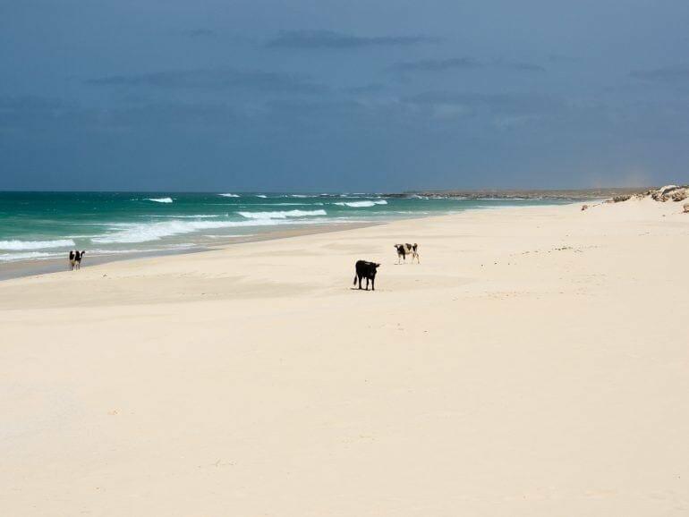 Kühe am Praia da Varandinha auf Boa Vista Kapverden
