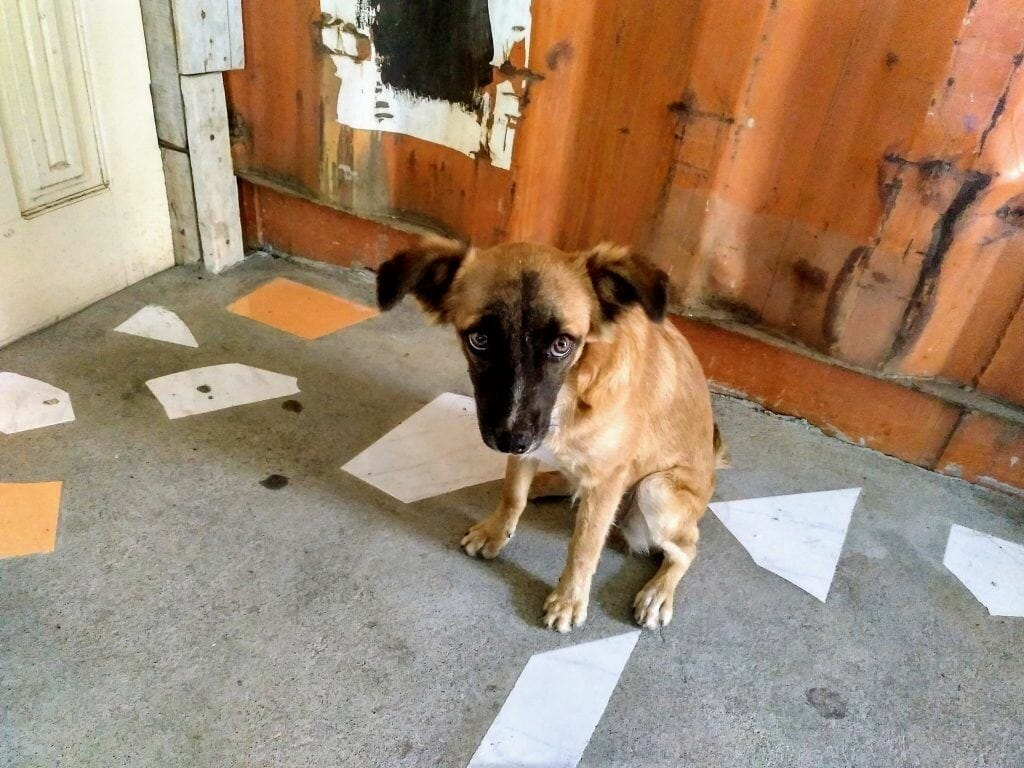 Straßenhund auf Fogo Kapverden