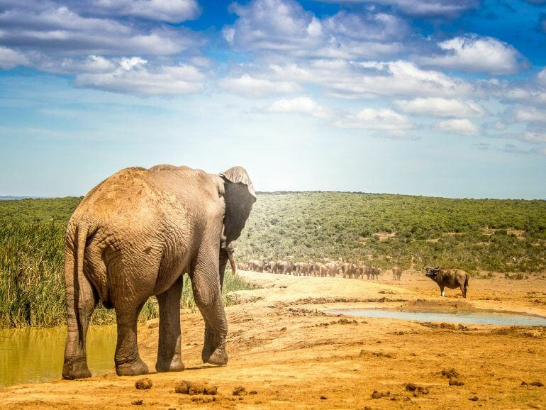 Elefant im Addo Elephant Park in Südafrika