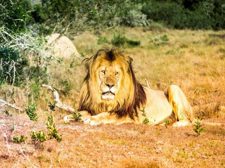 Löwe im Schotia Game Reserve in Südafrika