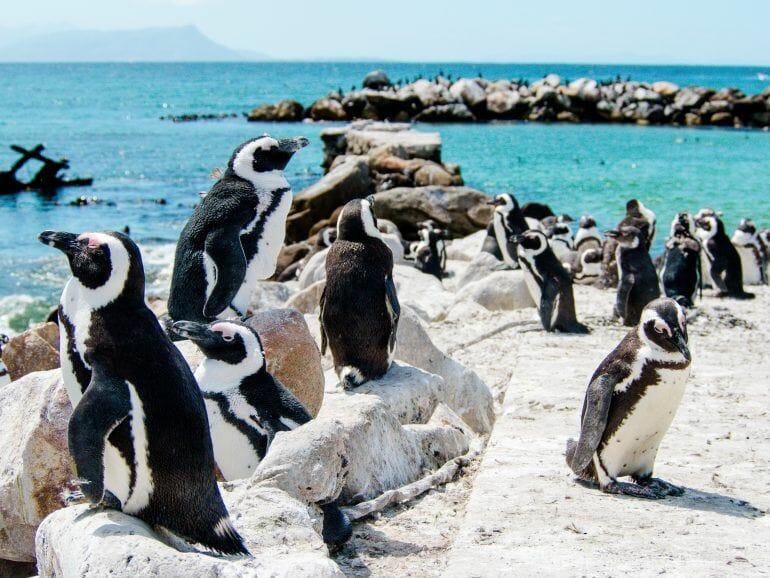 Pinguine bei Bettys Bay in Südafrika