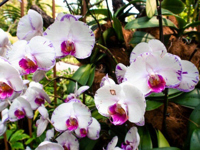 Orchideen im Botanischen Garten in Singapur