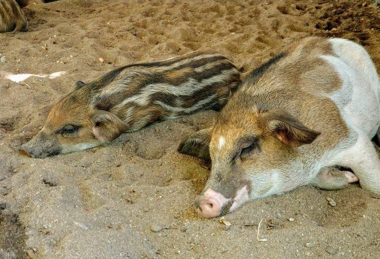 Wollschweine auf Koh Madsum