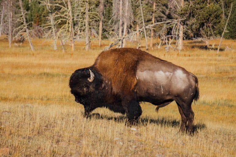 Bison im Yellowstone Nationalpark USA